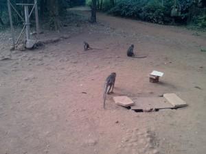 Monkeys at Matheran
